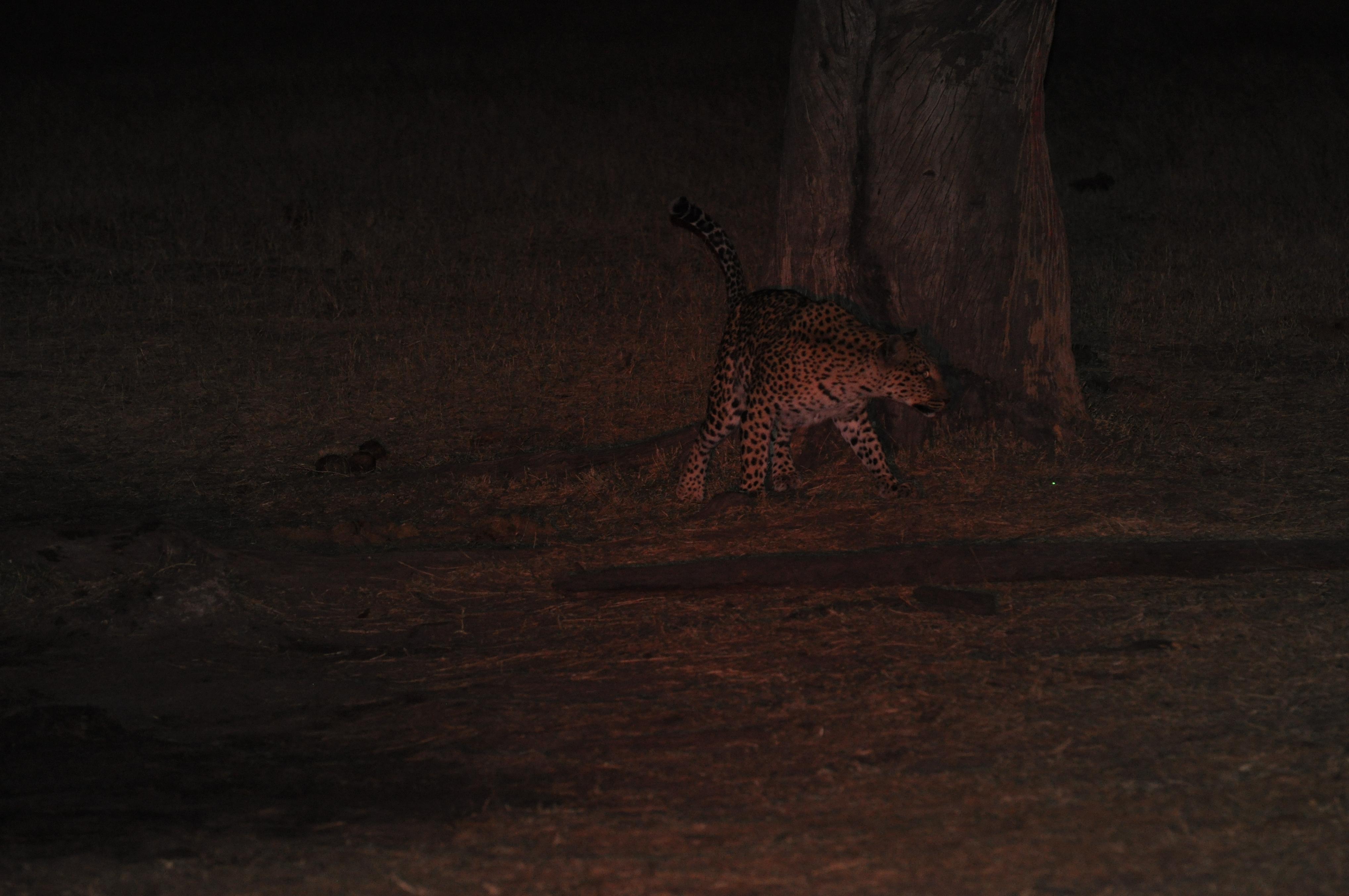Stalking Big Cats